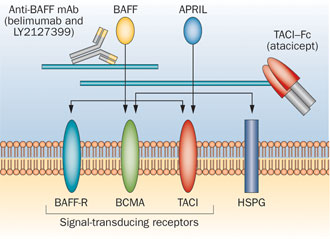 Effects-of-BAFF-targeting-compoundsThe-mAbs-belimumab-and-LY2127399-only-block-BAFF.png.jpeg